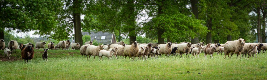 Schaapskudde boerderij de Muetstege